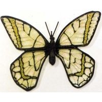 Yellow Swallowtail Medium Butterfly Wings